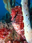 Big-Belly Seahorse, Red
