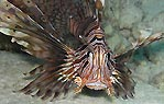 Close up and Personal (Lionfish)
