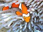 True Clownfish � Really