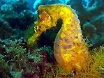 Seahorse at Bare Island