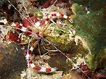 Banded Coralshrimp