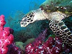 Hawksbill Turtle on the Yongala