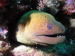 Giant Moray on the Yongala