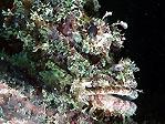 Scorpionfish at Beqa Lagoon
