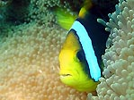 Orange-fin Anemonefish