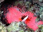 Kadavu Anemonefish