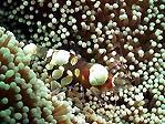 Popcorn Shrimp in Fiji
