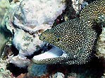 Crusoes' Guineafowl Moray