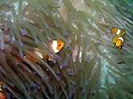 Anemonefish galore