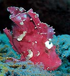 Leaf Scorpionfish (<em>Taenianotus triacanthus</em>)