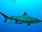 Grey Reef Shark (<em>Carcharhinus amblyrhynchos</em>)