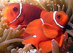 Spine-cheek Anemonefish (<em>Premnas biaculeatus</em>)