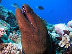 Giant Moray Eel (<em>Gymnothorax javanicus</em>)