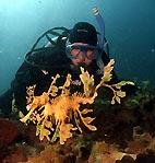 Leafy Seadragon (<em>Phycodurus eques</em>)