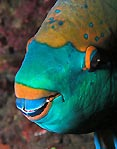 Snoozing Parrotfish