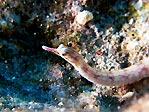 Your Mission:  Photograph a Pygmy Pipefish