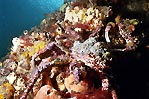 Decorator Crabs