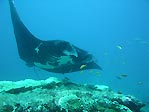 Manta Ray at Lady Musgrave