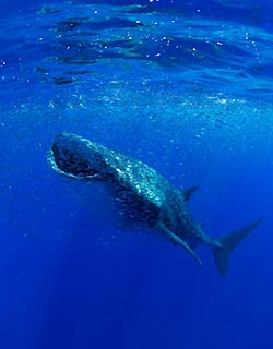Whaleshark at Christmas Island