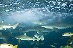 Staka Sharks