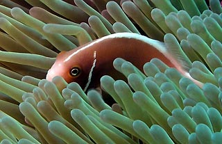 Pink Anemonefish at Wheeler Reef