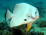 Batfish with Cleaner Wrasse