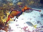 Weedy Seadragon (<em>Phyllopteryx taeniolatus</em>)