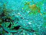 Leafy Seadragon and friend