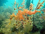 Leafy Seadragon and eggs