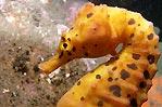 Portrait of a seahorse