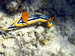 Nudibranch (Chromodoris quadricolor)