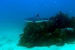 Dusky Whaler
