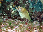 Green Moray (Gymnothorax prasinus)