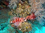 Zebra Lionfish double-take