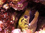 Yellowhead Moray Eel, juvenile