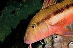 Southern Goatfish