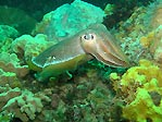 Cuttlefish at Lonsdale Wall