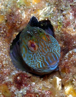 MY Swansea Blenny