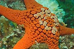 Pope's Eye sea star
