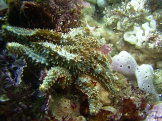 Unidentified Seastar