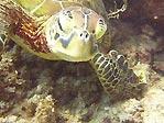 Green Turtle closer...