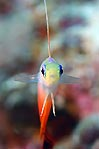 Fire Dart Fish