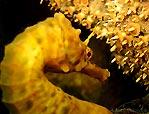 The coy seahorse