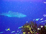 Rhincodon and Reef