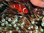Swift Anemonefish
