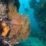 Gorgonian and Diver