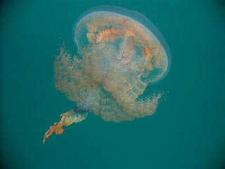 Beautiful Jellyfish