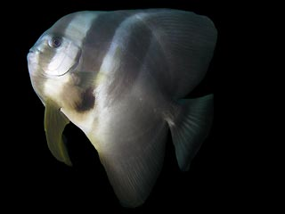 Tall-fin Batfish