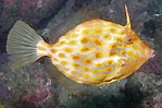 Mosaic Leatherjacket