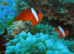 Raki Raki Anemone fish